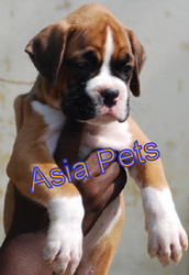 BOXER  Puppies  For Sale  ® 9911293906