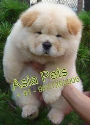CHOW CHOW PUPPIES FOR SALE ARYAN KENNEL - 9555944924